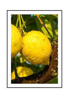 Sicilian Lemon Poster