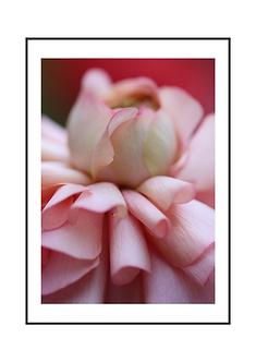 Pink Dahlia Flower I