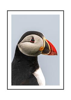 Puffin Bird Poster