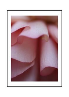 Pink Dahlia Flower II