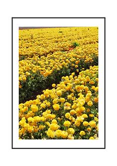 Yellow Ranunculus Flowers I