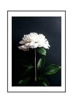 Black and White Peony Flower II