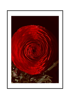 Red Ranunculus Flower II