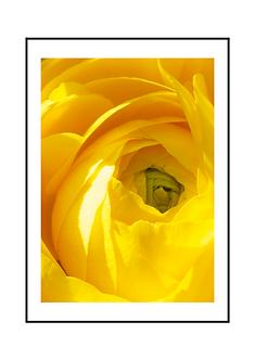 Yellow Ranunculus Flower II