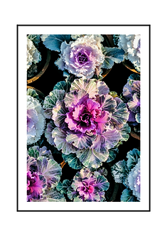 Flowering Cabbage Poster