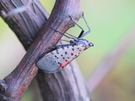Foresters Prepare Public for Arrival of Spotted Lanternfly