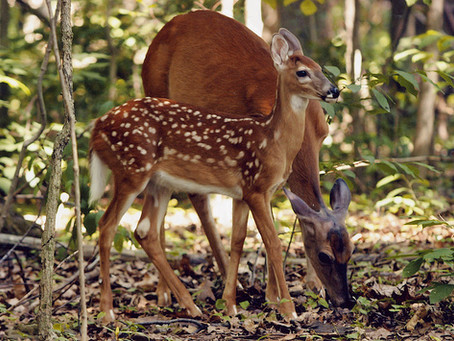 Maryland DNR Seeks Public Comment on Deer Management