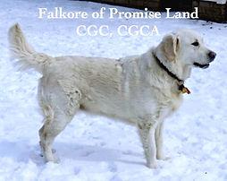 Golden Retriever, Puppies, AKC, Maryland,