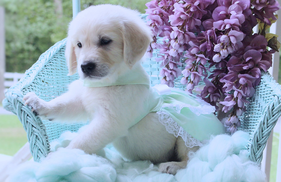 Puppies, Maryland, AKC, Clearances, Puppy, female, for sale, male,
