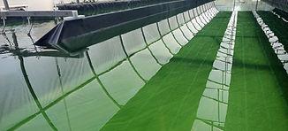 Spiruline Tolosane - bassin aquacole de Spiruline près de Toulouse