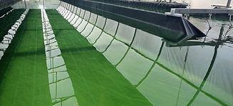 Spiruline Tolosane - bassin de Spiruline, cultivée près de Toulouse