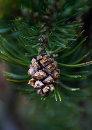 pinon cone
