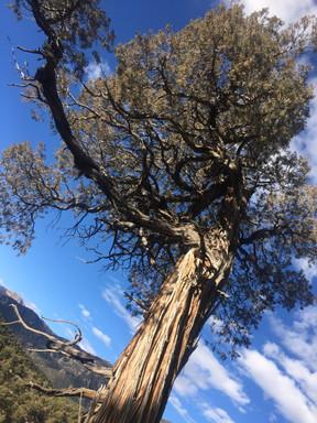 juniper spirit ally
