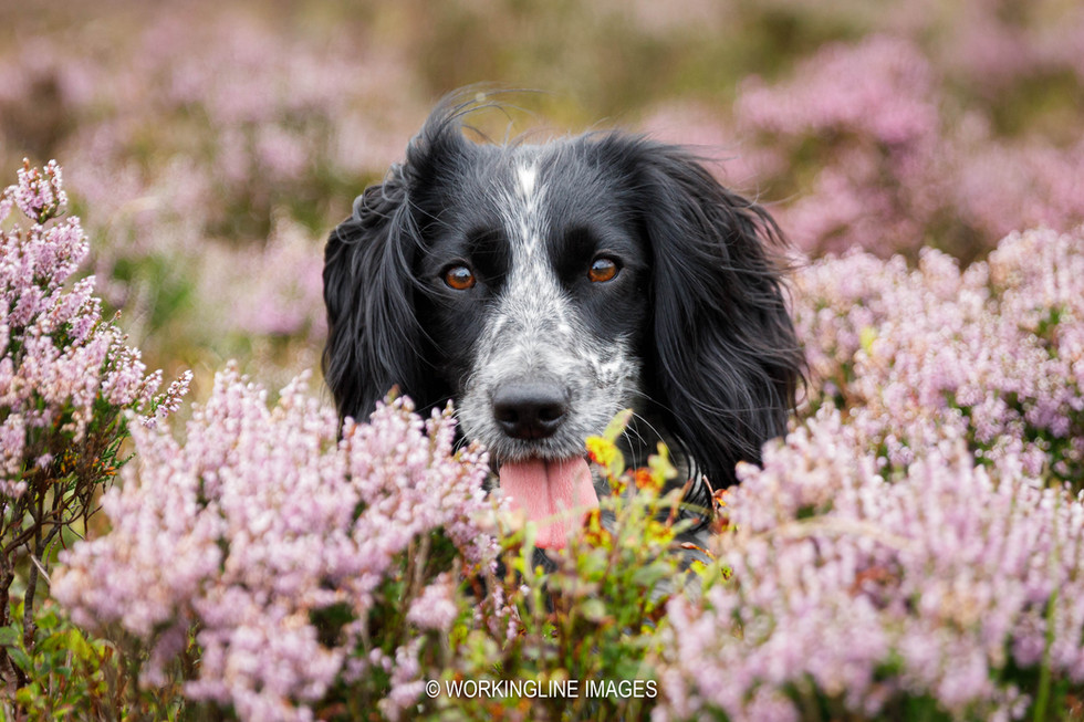 Young Cocker spaniel in the heather
