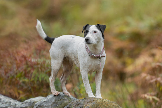 Jack Russell on stone wall in rain