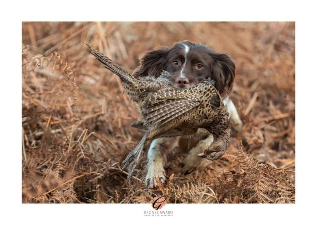 Spaniel Retrieving pheasant.