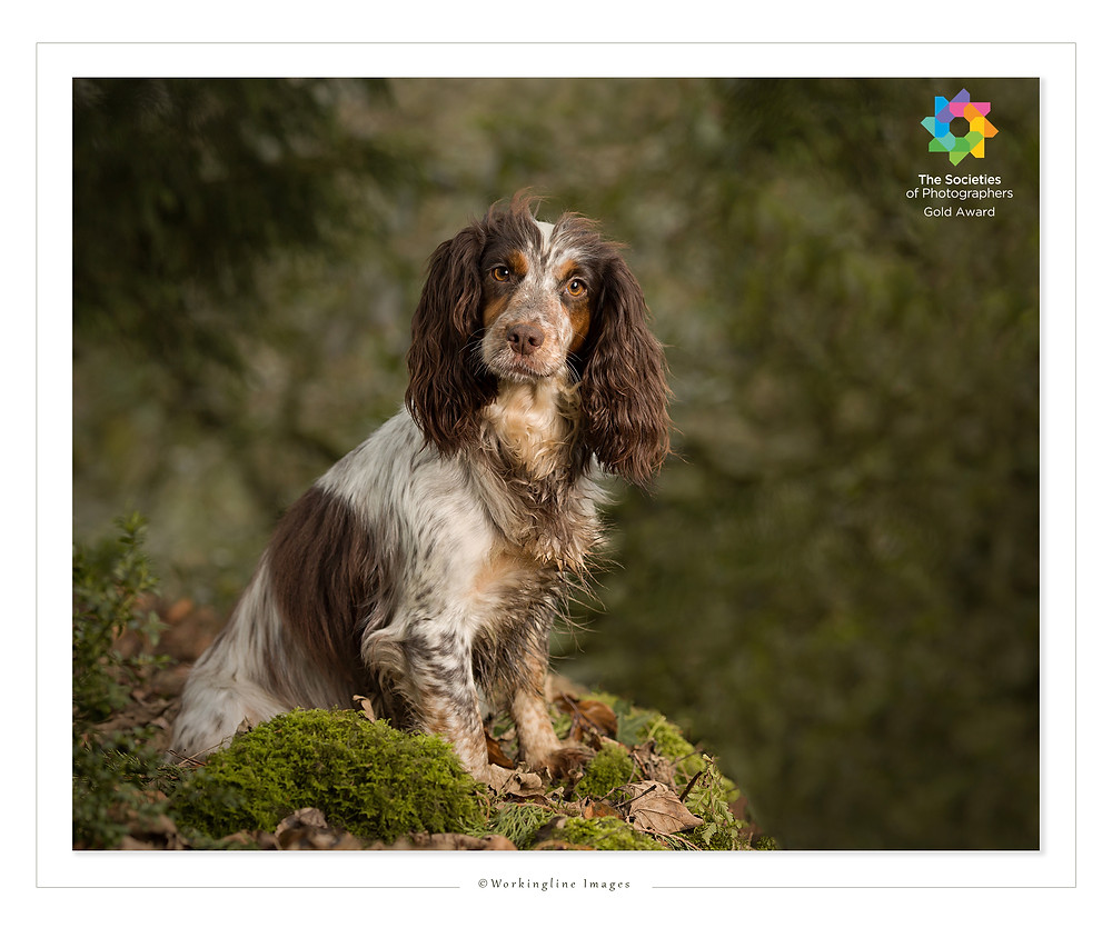WORKING COCKER SPANIEL, PORTRAIT, PICTURE, PHOTO, AWARD, GOLD, WORKINGLINE, SHEFFIELD, PENISTONE, BARNSLEY, HOLMFIRTH, GLOSSOP, HUDDERSFIELD