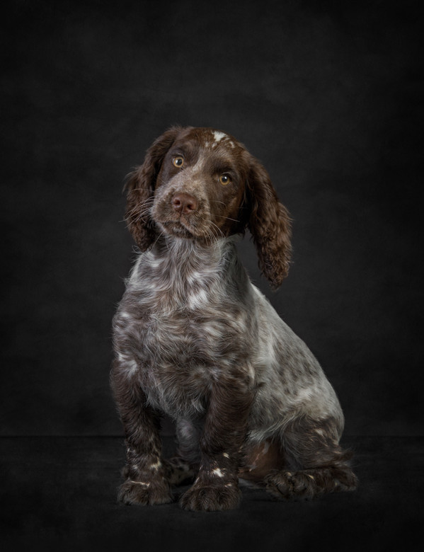 Young Cocker Spaniel, on black.