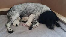 BLACK & WHITE SPRINGER DOG PUP - AVAILABLE