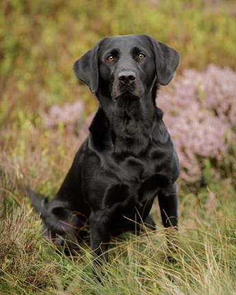 Labrador Outside Portrait Session