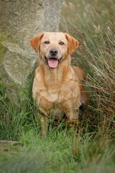 Yellow Labrador in grass