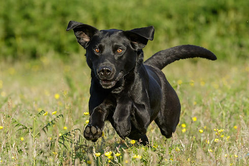Black Labrador surfing through buttercups and long grass in summer.  Outdoor Photoshoot.
