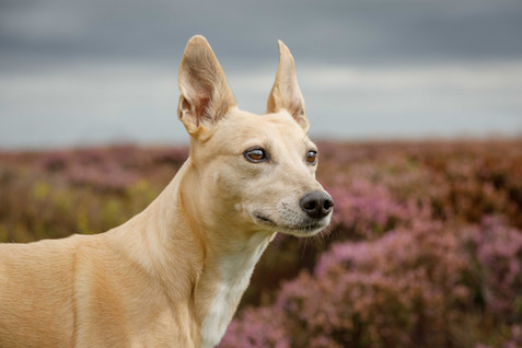 Running Dogs on the moor.