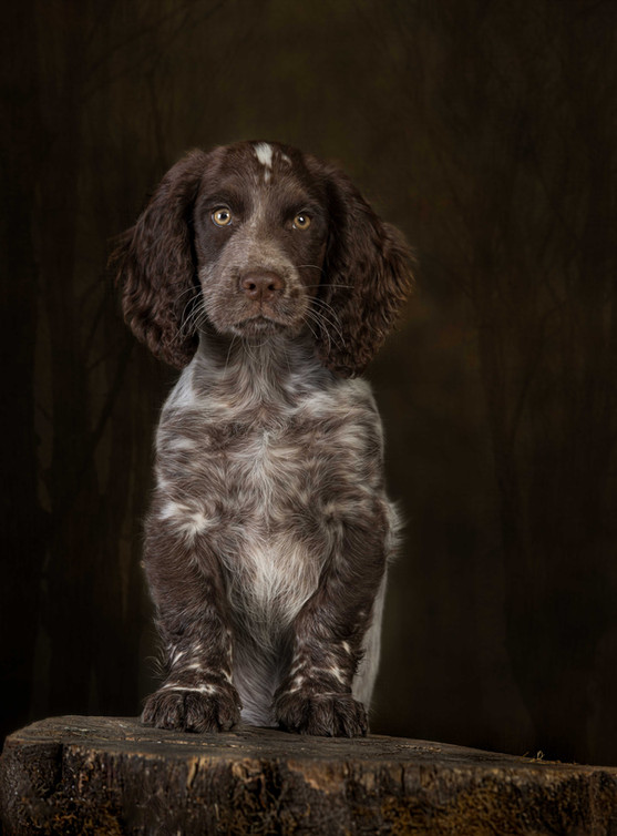 Young Cocker Spaniel Pup, on log in studio