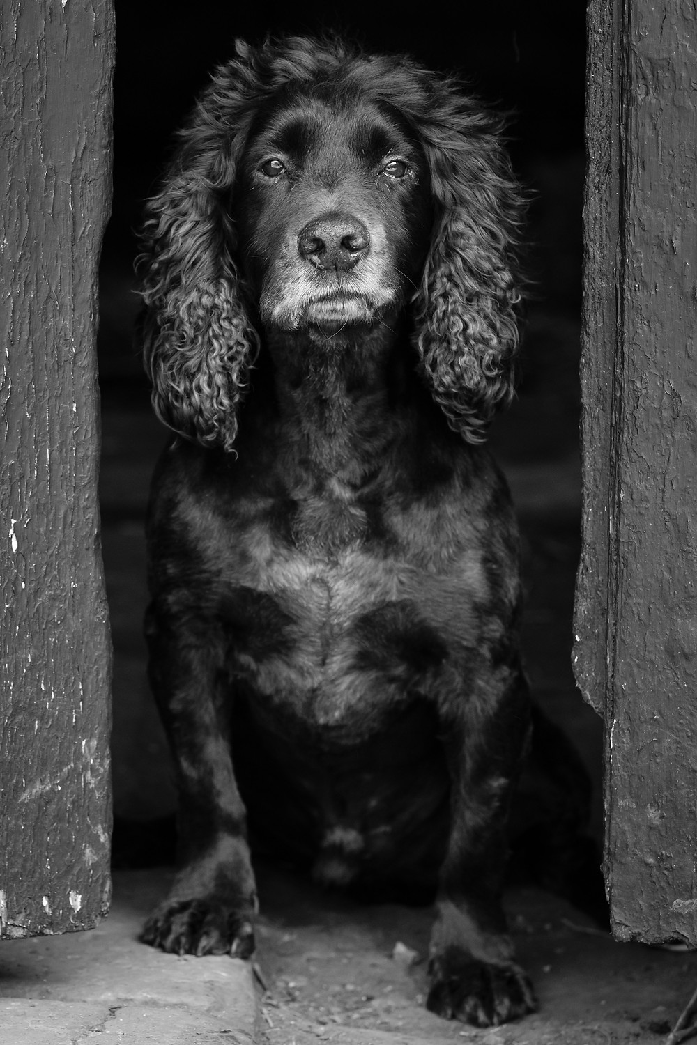 Dog pictures, dog photo's, dog potraits, dog photography, pet pictures, pet photo's, pet portraits, sheffield, penistone, holmfirth, glossop, buxton, huddersfield, barnsley, labradors, springers, cockers,