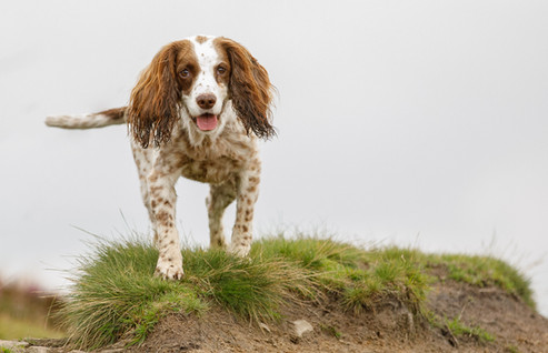 Springer on the moors