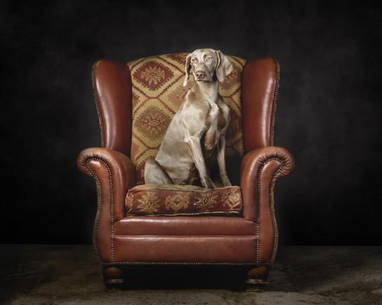 Weimeraner in Chair, Portrait Session