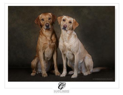 BEAUTIFUL YELLOW LABRADOR ,DOG PHOTOGRAPHY STUDI