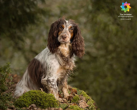 Cocker Spaniel sitting on moss covered wall.  Outdoor Dog Photoshoot by Carolin Dell Photography