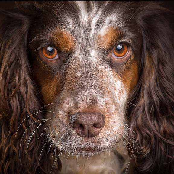 dog-photography-sheffied-yorkshire-portr