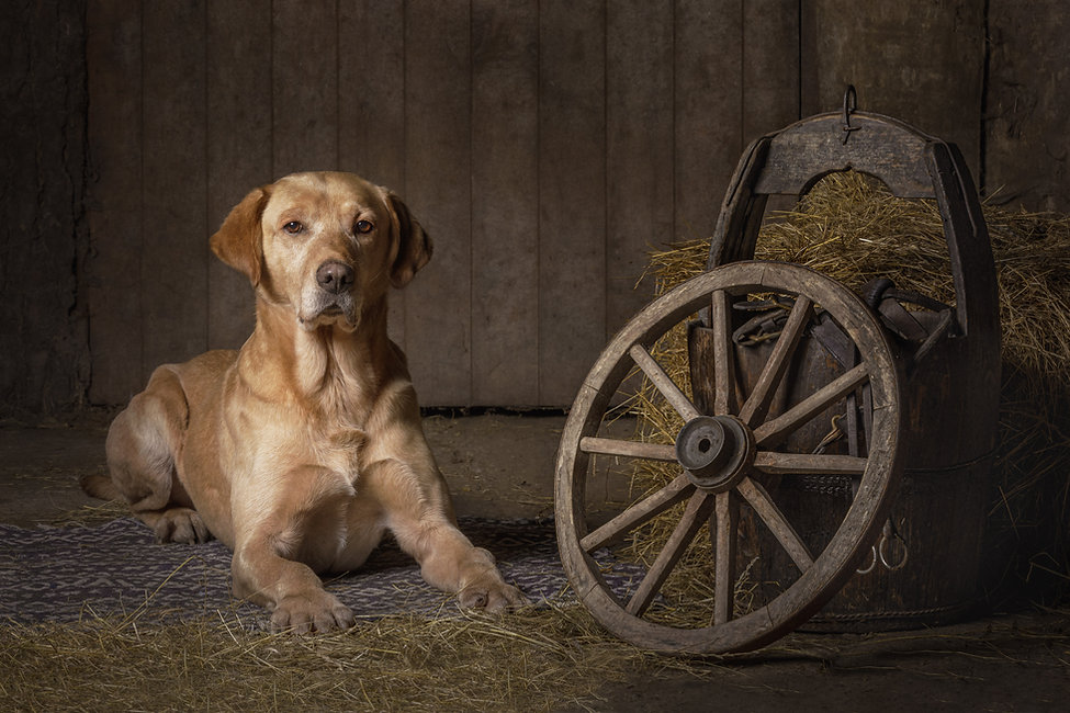 Solly the yellow labrador in a portrait at the Ranch.