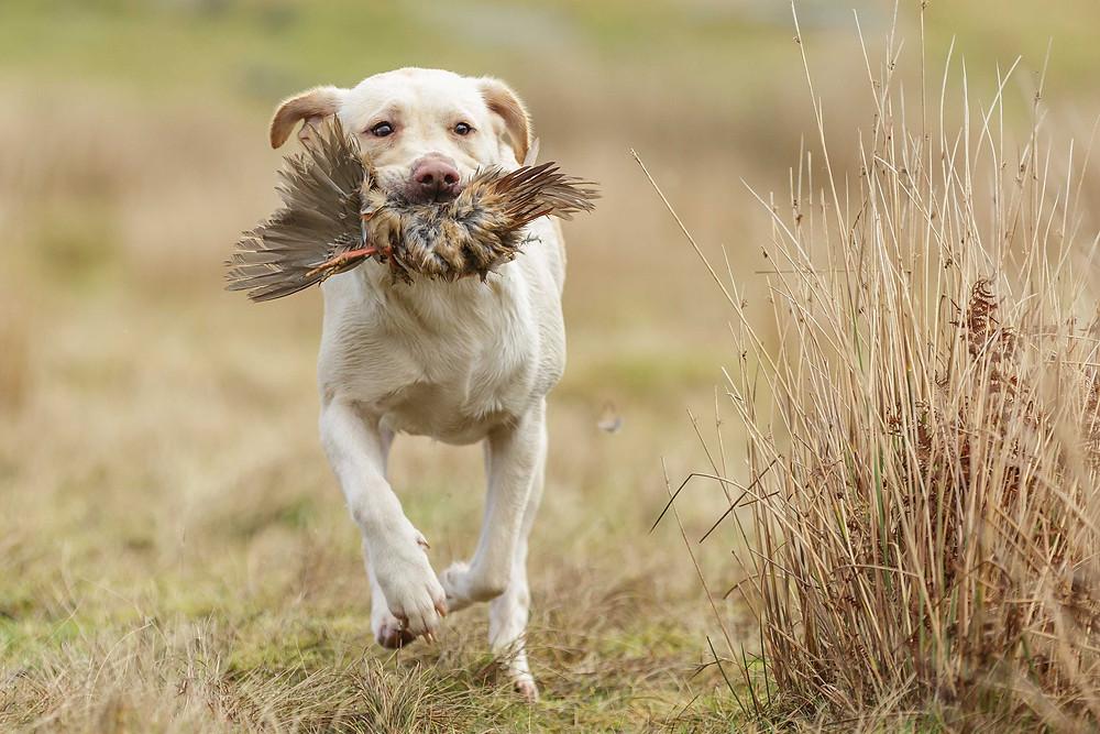Labrador retrieving partridge