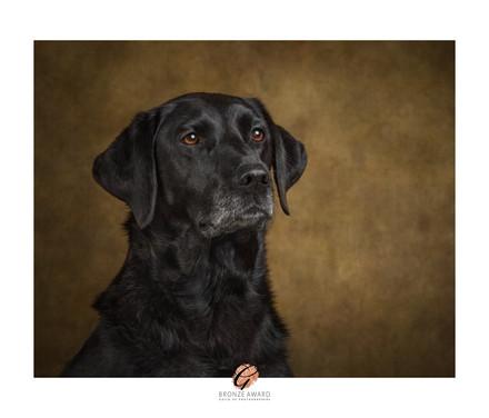 Labrador Portrait from Studio