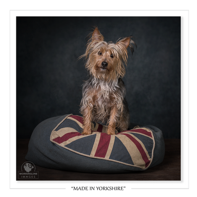 Stinky-yorkshire-terrier-portrait-.png