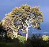 prunus africana.jpg