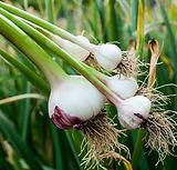 garlic.jpeg