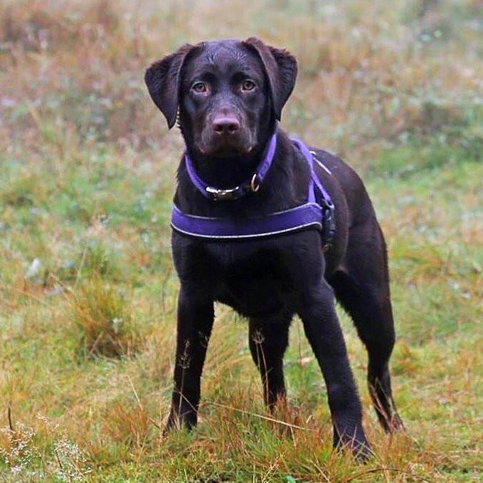 Labrador Walker!