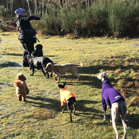 Socialisation Dog Walks