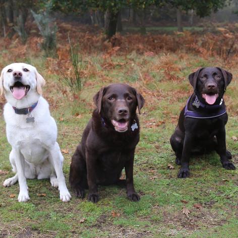 Labrador Dog Walker