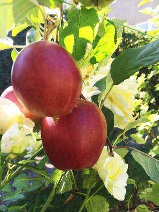 Epler i hekk, epler i kake