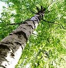 Organic Birch Extract