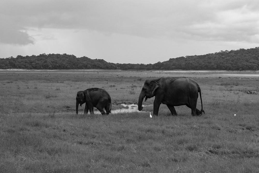 Elephants at Sigiriya National Park