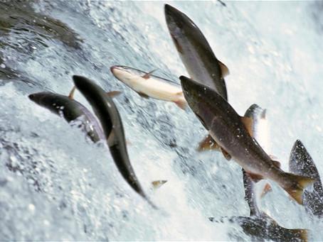 Gratitude and Salmon