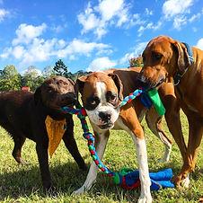 Doggy-Daycare-Farm-Trips-Dogs-play-tug-o