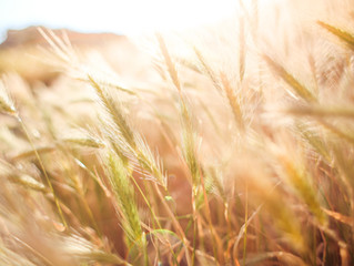 The Wheat and the Chaff - The Current Day Fulfillment of God's Seperation