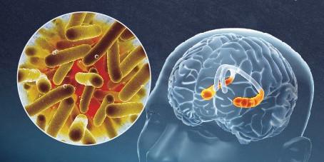 Microbiote intestinal et cerveau : leur lien qui régule l'humeur